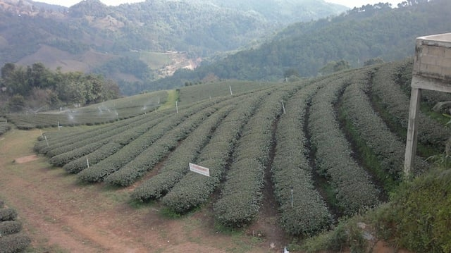 Mae Salong tea farm.jpg